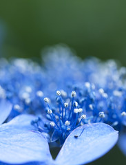 hydrangea macro (* Yumi *) Tags: blue flower macro hydrangea  yourfavorite 25faves mygearandme