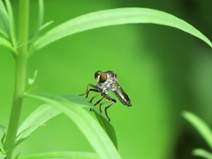 Robber fly (brian.m.rule241) Tags: macro nature insect fly robber