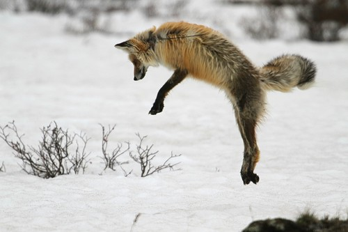 Red Fox leaping after a snack