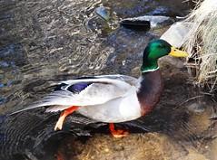 Afternoon stretch (EcoSnake) Tags: birds march spring wildlife ducks stretch waterfowl mallards naturecenter idahofishandgame