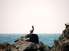 The Guardian (knightbefore_99) Tags: ocean sea west bird mexico coast rocks pacific pelican mexican tropical oiseau zihuatanejo guerrero lasbrisas