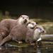Otters on a root