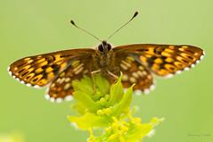 Boloria dia (Danny_Little) Tags: nature animals butterflies insects romania closeups meris mehedinti nikond90 sigma150mmf28exapomacrodghsm boloriadiaweawersfritillaryarginiemica
