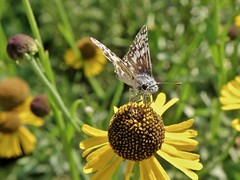 Pyrgus communis (Grote, 1872) (carlos mancilla) Tags: insectos mariposas butterflies olympussp570uz pyrguscommunis pyrguscommunisgrote1872 saltarinadetablero commoncheckeredskipper hesperiidae pyrginae