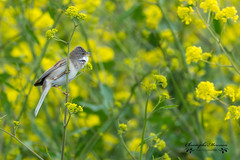 Out of the yellow! (merceronchristophe) Tags: france bird nature wildlife ileder commonwhitethroat fauvettegrisettefr sylviacommunislat