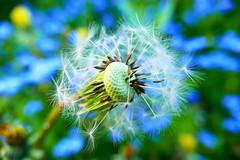 wishes (nelescholten) Tags: blue flower macro colours bokeh pastel dandelion dreams dreamy wish
