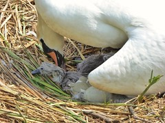 New Life (Climate_Stillz) Tags: cute home animal swan nest zoom birth innocent shell eggs hatch hampstead hampsteadheath motherhood protection hatching newlife protecting swanling tz60