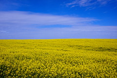 Yellow and blue (images@twiston) Tags: blue sky cloud field yellow clouds landscape countryside cornwall farm country farming seed crop oil agriculture canola rapeseed yellowandblue