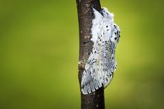 Stor gaffelstjert (Cerura vinula) (Eivind Nielsen) Tags: macro butterfly moth lepidoptera sommerfugl ceruravinula storgaffelstjert