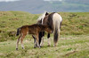Dartmoor pony male foal sucking from mother (Ian Redding) Tags: old uk wild england horses horse baby brown white black nature penis coast milk mare natural feeding little ponies care breed colt offspring hardy feral rarebreed suckling foal dartmoorpony
