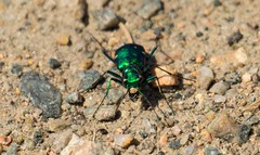 7K8A4495 (rpealit) Tags: nature scenery wildlife tiger beetle hatchery sixspotted pequest
