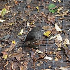 North Island Robin 2 (dougnewdick) Tags: bird robin animal zealandia