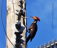 Pileated Woodpecker (Mike Woodfin) Tags: park color bird nature contrast photoshop canon photography photo cool woodpecker nikon pretty fuji florida photos country picture redhead photograph fl fowl ruskin hillsborough pileatedwoodpecker hillsboroughcounty mikewoodfin mikewoodfinphotography
