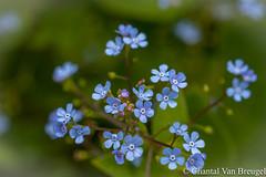 Vergeet-mij-niet (Chantal van Breugel) Tags: plant macro bloemen flevoland nop brunnera vaste macrophylla canon100mm vergeetmijnietje espel eigentuin canon50d