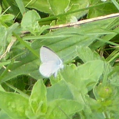 Small Blue - Cupido minimus 3 (Dluogs) Tags: blue macro nature animal butterfly insect geotagged outdoors hampshire spot pale lepidoptera crop underside winchester britishwildlife lycaenidae recordshot smallblue cupidominimus chalkdownland butterflyreserve geo:country=england taxonomy:binomial=cupidominimus magdalenehilldown dluogs geo:county=hampshire geo:region=europe taxonomy:common=smallblue geo:acc=30m geo:lat=51058078 geo:lon=1275661 geo:osgridref=su508289