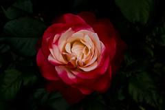 Rose (betadecay2000) Tags: plants plant flower green outdoor pflanze beta rosen grn beet blume rosebush rosengarten dornen dorn schrfentiefe beete blhen bltenblatt rosenstrauch heiter zierpflanze rosenbusch
