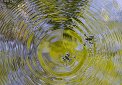 (amy20079) Tags: light abstract nature water reflections spring pattern maine newengland insects bugs steam ripples organic freshwater pondskater waterstrider gerridae waterbugs nikond5100