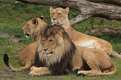 African Lions (K.Verhulst) Tags: cats lions nl safaripark beeksebergen leeuwen hilvarenbeek safariparkbeeksebergen africanlions afrikaanseleeuwen