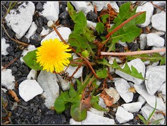 Dandelion, Weeds, Bark, & Rocks - Spring Photo Taken by STEVEN CHATEAUNEUF - May 21, 2016 (snc145) Tags: white green nature yellow garden photo spring weeds rocks seasons gray dandelion bark limestone soe autofocus flickrunitedaward stevenchateauneuf may212016