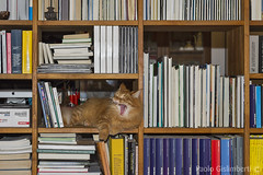 Gatto norvegese, Norwegian cat (paolo.gislimberti) Tags: cats pets library yawn books libri everyday domesticanimals mammals gatti sbadiglio libreria quotidianità animalbehavior mammiferi animalidacompagnia animalidomestici comportamentoanimale