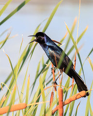 Calling (Bill McBride Photography) Tags: boattailedgrackle boattailed grackle bird avian nature wildlife ritchgrissommemorial wetlands viera melbourne fl florida canon eos 70d ef100400l may 2016 spring