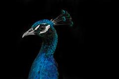 Pavo - Peacock - Peafowl on Black Background (Mauro Garcia Fatte) Tags: brazil nature colors animal animals brasil contrast america focus outdoor unique natureza animais manualfocus meyer orestegor mflenses