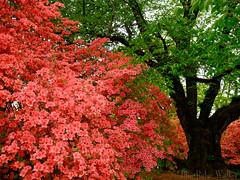 Azalea bloom park (Blue Ridge Walker) Tags: castle