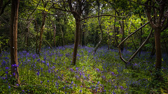 Bluebell woodland (TanzPanorama) Tags: england color colour tree nature zeiss woodland kent woods flora flickr mood sony jungle bluebell flickrdiamond fe1635 fe1635mmf4zaoss sonya7ii sonyilce7m2 tanzpanorama