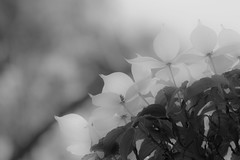 HIKARI 6月 : Dogwood Monocrome June (Colorful-wind) Tags: light shadow blackandwhite white flower tree nature june japan fujifilm dogwood fukuoka lightandshadow 2016 6月 kitakyusyu ヤマボウシ