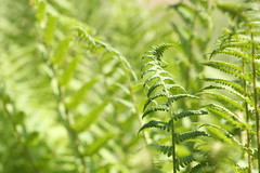 The dance of the ferns (liisatuulia) Tags: fern green porkkala