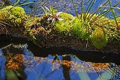 Flo mit Moos (waidlerwiki) Tags: germany bavaria wasser moose bach flos bayerischerwald bayerwald wasserspiegelung nationalparkbayerischerwald bavarianforestnationalpark knottenbach