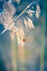 Coccinella (Palermo Finestra sul Mondo) Tags: coccinella rosso rossa colori colours ladybug insetto insetti insect insects wild nature natura green verde selvaggia colors our world