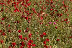 we are different :-) (@ntomarto) Tags: pink flowers red italy rome flower roma italia rosa poppy poppies fiori fiore rosso papaver papaveri pavot amapola papavero coquelicots mohnblumen papaversetigerum antomarto ntomarto papaverosetoloso