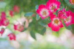 (miki-re) Tags: flower rose japan kamakura  kanagawa hase     kissx7