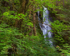 Lake Quinault Waterfall (saganorth2000) Tags: forest waterfall washington nationalpark mossy lakequinault olympicnp vinemaple