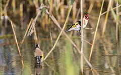 On gaurd... (Mykel46) Tags: nature birds canon european goldfinch au australia waterhole southaustralia fringillidae carduelis mawsonlakes 14xtele 1dxmk2