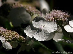 In the words of a very famous dead person, 'A nation that does not know its history.... (itucker, thanks for 2.2+ million views!) Tags: macro bokeh hydrangea raulstonarboretum hbw hydrangealongipes