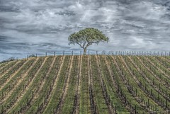 (Still) Alone.... (Joe Hengel) Tags: sky tree clouds vineyard afternoon view cloudy hill row hills vineyards rows liveoak centralcoast viewpoint oaktree sanluisobispo winecountry pasorobles sanluisobispocounty wineregion cloudyday hil