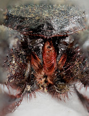 Vinagrilla (uropigios/escorpion ltigo ) (mamd_) Tags: naturaleza macro canon ojos patas nikkor boca detalles insecto bello pelos micronikkor pk13 colmillos arcnido 55mmf28 macrofotografa macroextremo eos1200d eosrebelt5