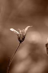 Abracadabra 2 (Claudio Taras) Tags: shadow bw flower sepia monocromo nikon bokeh sigma fiori claudio toned biancoenero trier taras streetshot contrasto streetflower