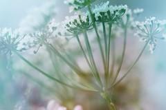 Natures Pastels.  CCphotoworks (CCphotoworks) Tags: macro soft bokeh doubleexposure pastels processing softfocus wildflowers