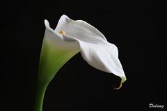 Pure White (Dalang55555) Tags: white flower canon eos calla 7d nocrop カラー sooc img0915 ef100mmmacrof28lisusm