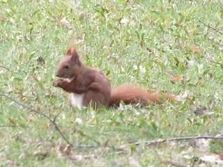 Eichhörnchen auf sem Friedhof., NGIDn1389323498