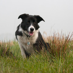 Stay (Bas Bloemsaat) Tags: mac collie border bordercollie
