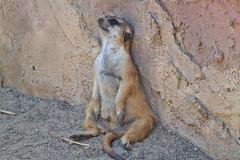 What a Day I'm Having! (Explored) (flutterbye216) Tags: africa canon zoo elite fl lionking meercat timone explored blinkagain bestofblinkwinners flutterbye216 challengeclubchampion