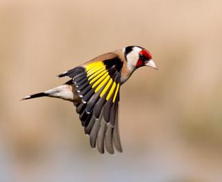 Goldfinch flight ~ Explored
