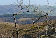 Webber's Post - framed by nature (devonteg) Tags: car march oak nikon heather branches pines 2012 exmoor gorse 70300 d80 webberspost selworthychurch dickyspath