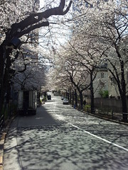 Cherry alley (Blarvar) Tags: cherryblossom sakura flickrandroidapp:filter=none