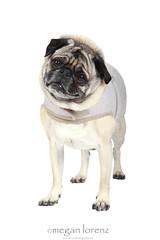 Pug!! (Megan Lorenz) Tags: dog pets male studio adult pug canine whitebackground getty breed isolated carlin mops clientsession mlorenz meganlorenz
