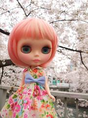 Cherry blossom petals swirl 2
